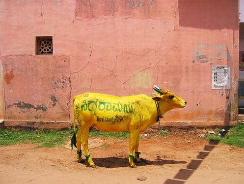Une vache fan de curcuma!