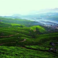 Le thé vert : élixir de vie ?