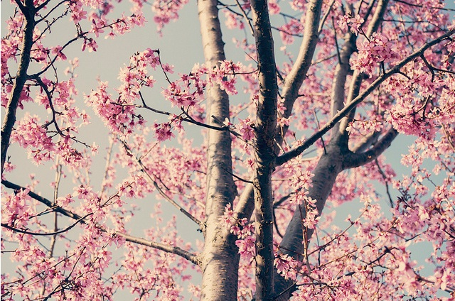 arbrerose